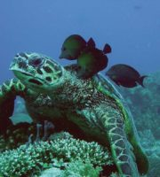 Mayotte-tortue_Jonathan-Curtat